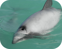 Hector's Dolphin Pictures