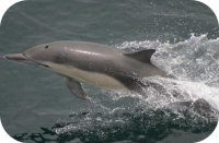 Long Beaked Dolphin Photo