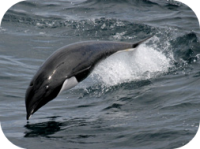 Northern Right Whale Dolphin Photo