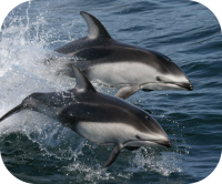 Pacific White Sided Dolphin Photo