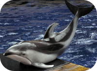 Pacific white Sided Dolphin Picture