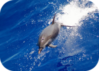 Spotted Dolphin Photo