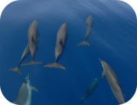 Spotted Dolphin Picture