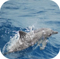 Rough Toothed Dolphin Picture
