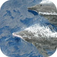 Rough Toothed Dolphins
