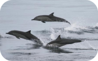 Short Beaked Common Dolphin Pod Photo
