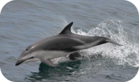 Dusky Dolphin Photo