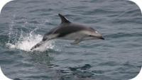 Dusky Dolphin Picture